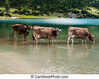 Bathing cows in Tirol Austria