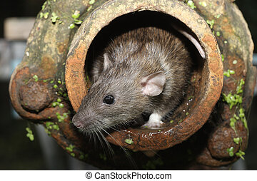 Brown rat, Rattus norvegicus, captive, in drain pipe, August...