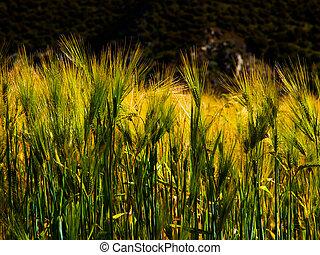 Grain field - Green grain field in sunlight