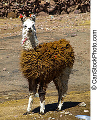 Llama - typical and funny south american mammal
