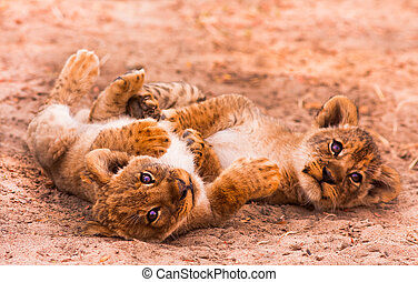 Cute Lion Cubs Playing in the Sand