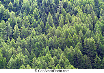 Larch forest, format filling background