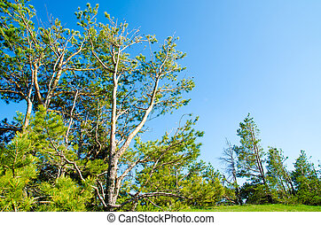 pine tree - beautiful pine tree in summer