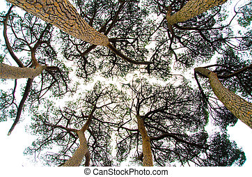 pine trees view from below