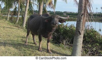 Asian buffalo in a wild nature