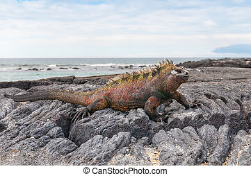 Red male marine Galapagos iguana - Colorful male marine...