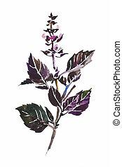 ramoscello, viola, Foglie, isolato, acquarello, basilico,...