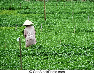 Farmer hard working in Hoi An, Vietnam
