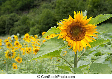Blooming Sunflowers (Helianthus) near a forest