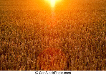 field of corn in golden sunlight