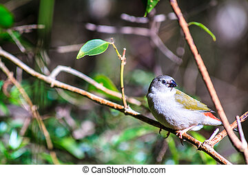 Juvenile Red-Browed Finch - A young red-browed finch sitting...