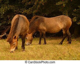 Exmoor Ponies - Two Exmoor ponies (a moorland horse breed...