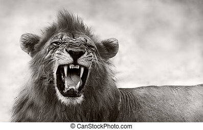 Lion displaying dangerous teeth - Wild African Male Lion...