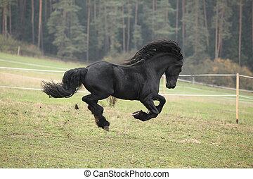 Gorgeous friesian stallion running on paturage in autumn