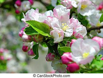 apple tree - blossomed apple tree