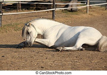 Nice horse rolling - Nice white horse rolling with pleasure...