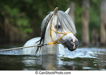 Portrait of gorgeous stallion which is swimming in river -...