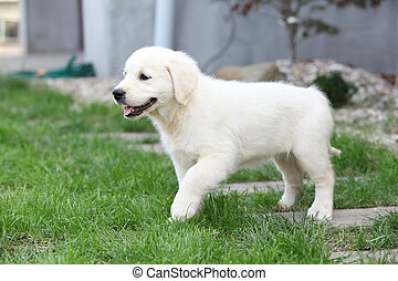 Nice cream golden retriever moving - Nice small cream golden...