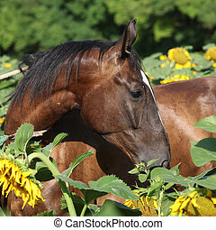 Beautiful horse in sunflowers - Portrait of beautiful...