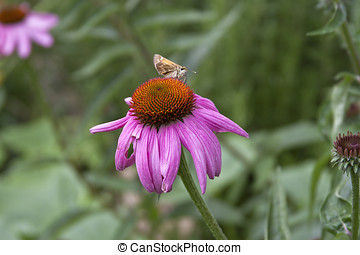 Moth Feeding on an Echinacea Flower - Moth Feeding on a...