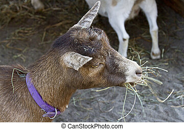 Hungry Billy Goat - Close up of a billy goat eating hay