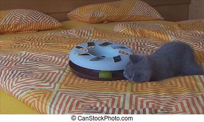 thoroughbred British kitten playing