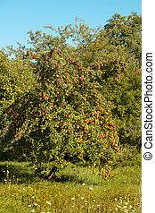 Apple tree full of red apples in September in France