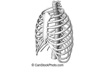 Rib -  Human body rib cage