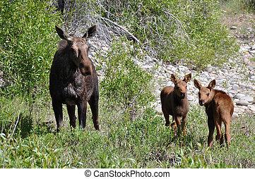 kvinnlig, Moose, två, calfs, äta
