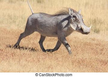 Warthog - a warthog in etosha