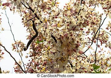 Wishing Tree, Pink Showe, Cassia Bakeriana Craib, Beneath a...