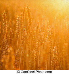 Cornfield in golden sunlight