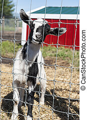 Goat in the Farmyard - Goat standing in a farmyard with a...