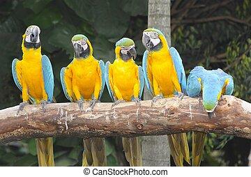 ara papagáj, Sügér, színes, ülés