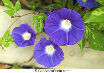 purple morning glory - this photo is taken in Kyoto
