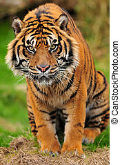 Tiger portrait vertical - Closeup portrait of a male...