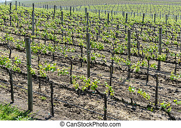 Grapevines in Napa Valley California
