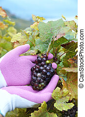 Wine-grower at work Lavaux region, Switzerland
