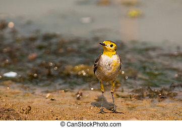 Yellow Citrine Wagtail Motacilla citreola searching for food...