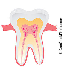 teeth - Tooth structure. Anatomy of teeth. Vector...