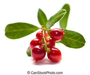 Vaccinium vitis-idaea,lingonberry branch with berries and...