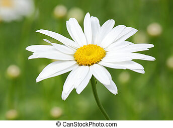 ox-eye daisy over green