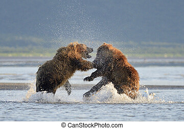 dois, pardo, Ursos, luta, água