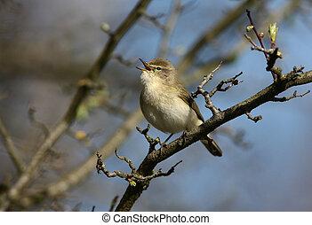 Chiffchaff, Phylloscopus collybita, Midlands, spring