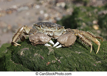 Chinese mitten crab, Eriocheir sinensis, Single crab on mud,...