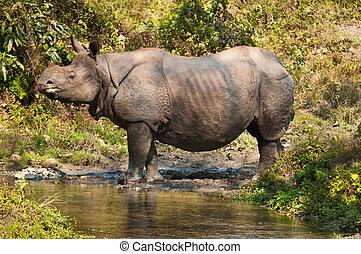 Rhino near a stream - Indian single horned rhinoceros near a...
