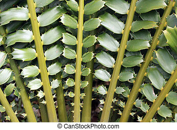 Closeup of beautiful leaves of Zululand Cycad Encephalartos...