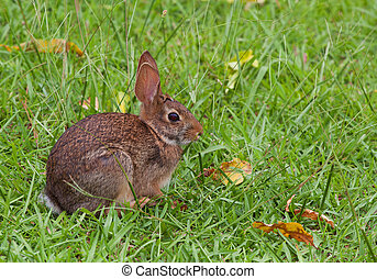 Wild rabbit - Cottontail that has come in to feast on the...