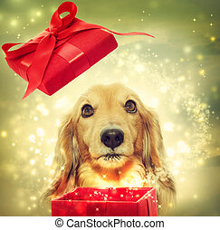 Dachshund opening a magic box - Dachshund dog opening a red...