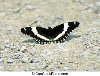 White Admiral Butterfly G-1750 - The White Admiral (L....
